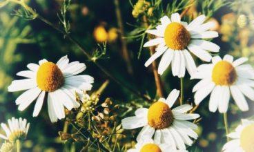 Biljke i cvjetne esencije kao podrška mentalnom i emocionalnom zdravlju u periodu pandemije
