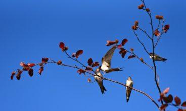 Priča o nastupu korona cirkusa i kako je lasta kreirala proleće